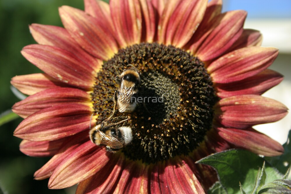 Bumle Bees Sunflower by nerrad