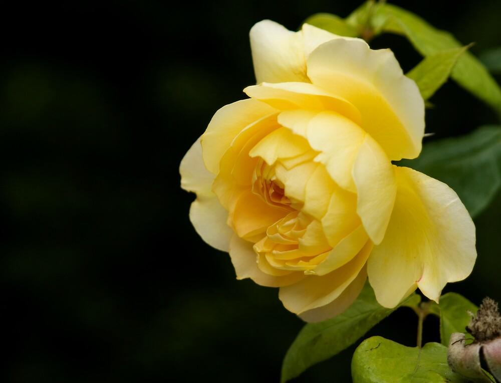 Yellow Rose by heylisa