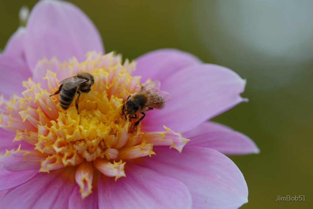 Dahlia with Bees by JimBob51