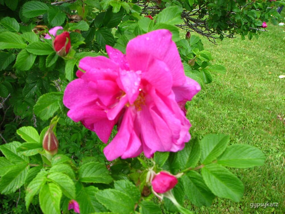 Roses by gypsykatz