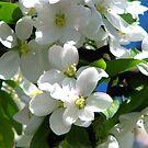 apple blossoms by gypsykatz