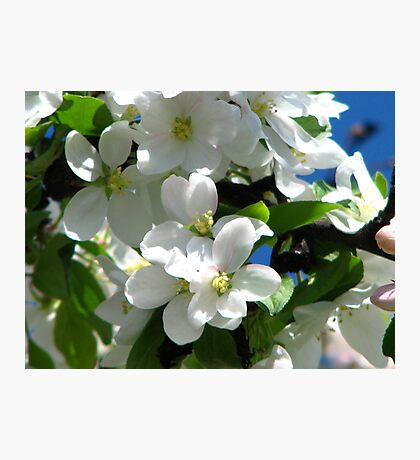 apple blossoms Photographic Print