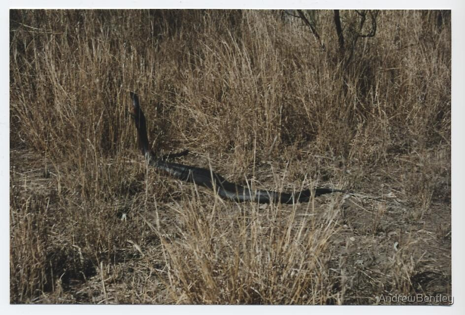 Red belly black snakes by AndrewBentley