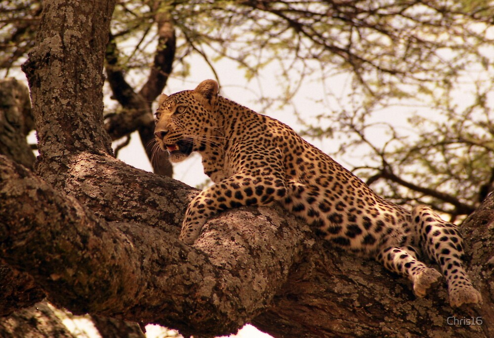 Leopard in the Serengeti by Chris16