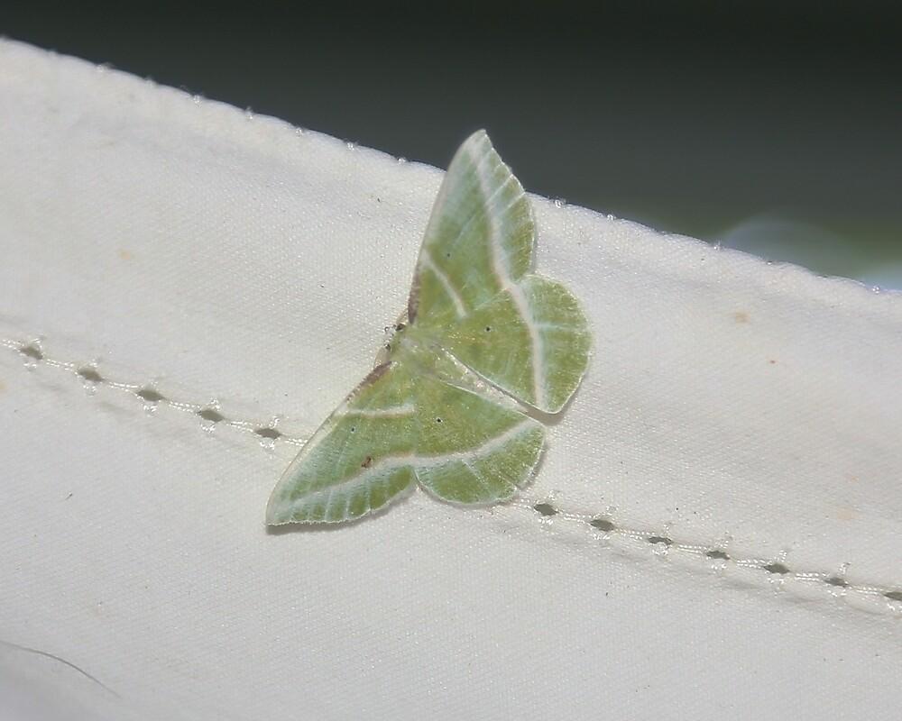 Showy Emerald Moth by Alice Kahn