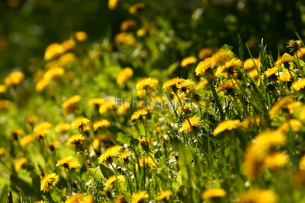 Dandelions by BPhotography