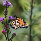 Monarch 2017-8 by Thomas Young