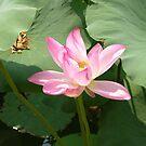 Pink Lotus by Lauren Glover