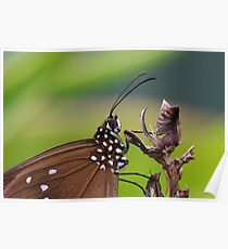 Common Crow Butterfly Poster