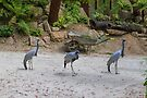 Blue Cranes by Elaine Teague