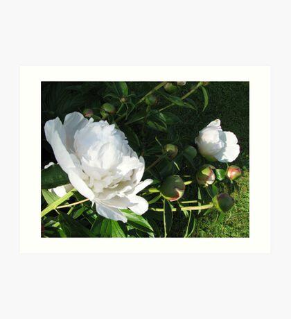Peonies are Blooming Art Print