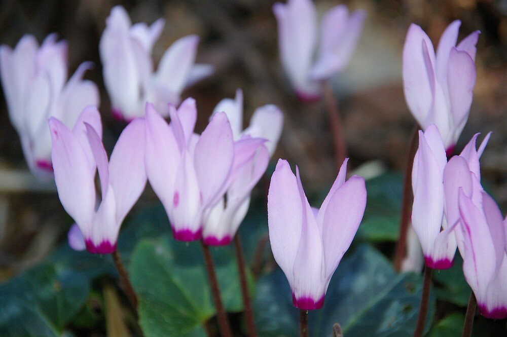 Cyclamens standing tall by Emma Newman
