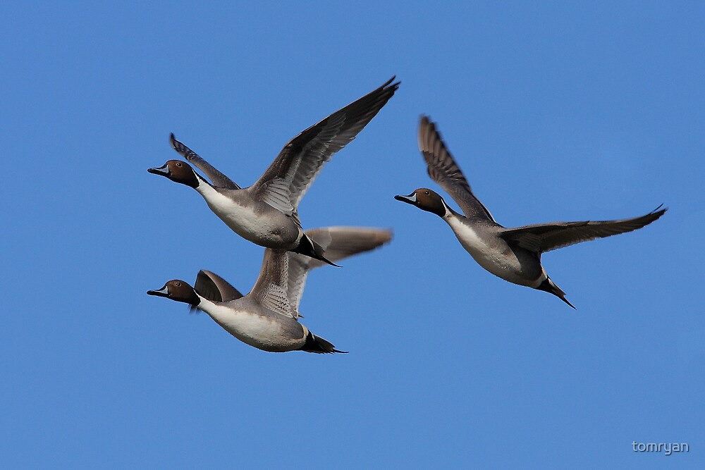 Northern Pintails In Flight by tomryan
