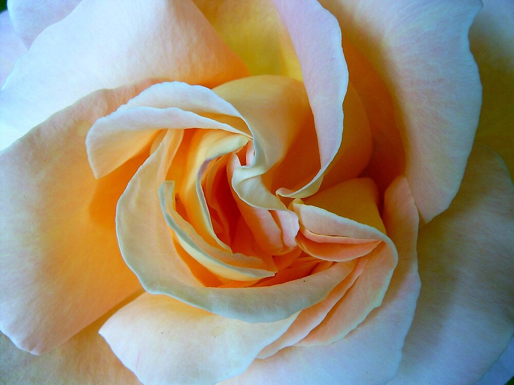 Peach Rose by Tidy