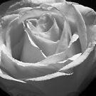 Rose by Niamh Harmon