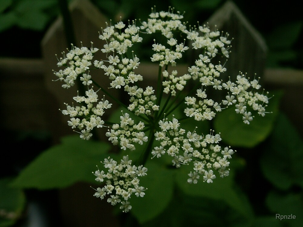 Queen Ann's Lace by Rpnzle