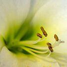 lily by Chris Charlesworth