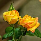 Peace Rose Blooms by Terry Krysak