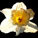 Daffodil by Artway