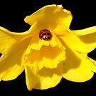 Ladybug Daff by Artway