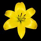 Yellow Lily by Artway