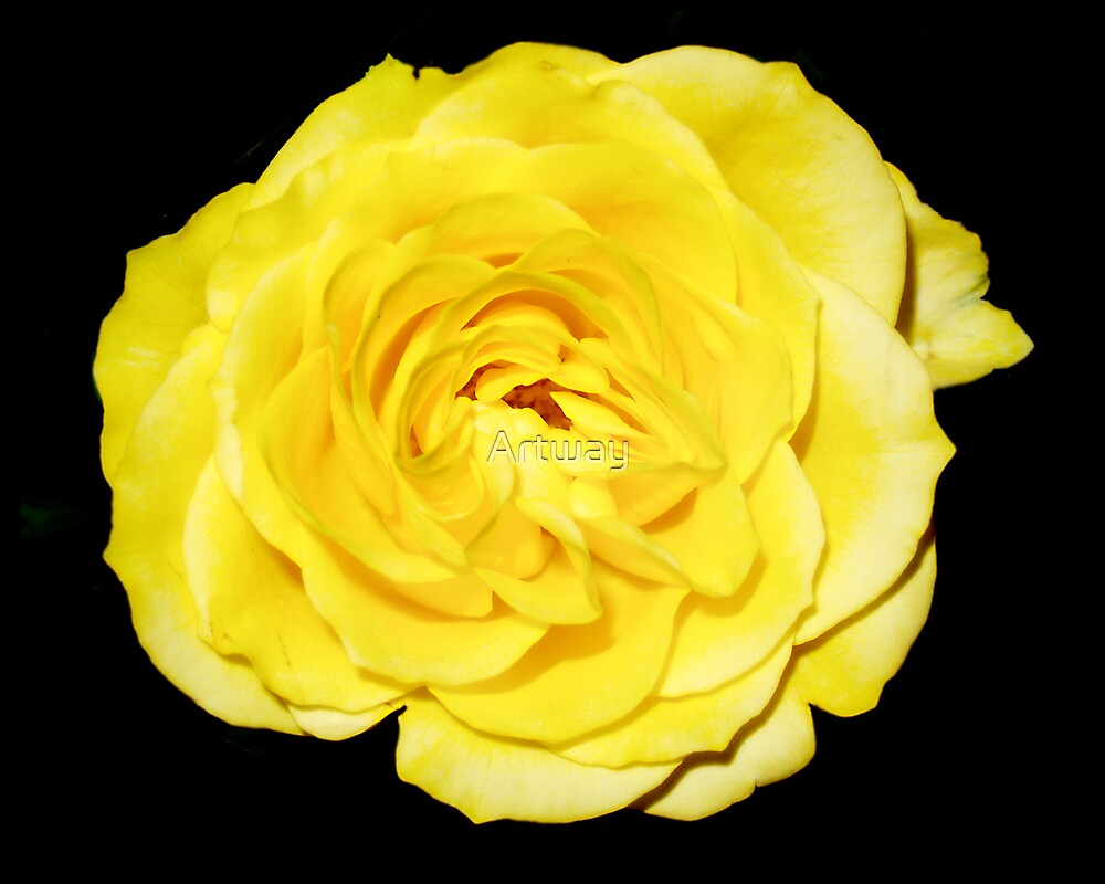 Yellow Rose by Artway