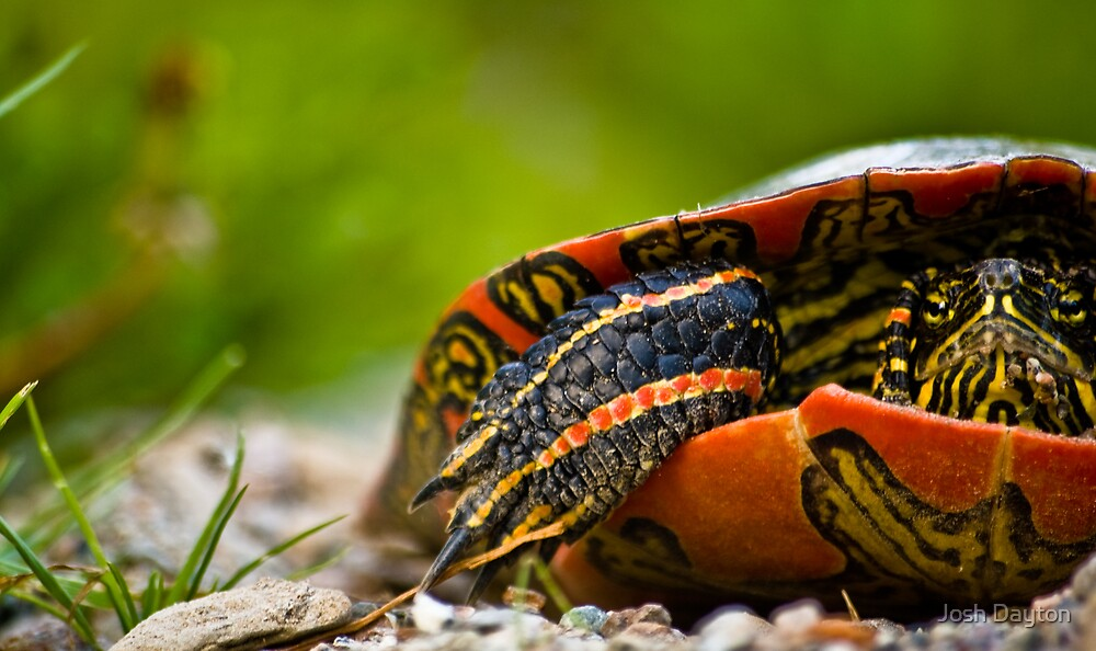 Western Painted Turtle by Josh Dayton
