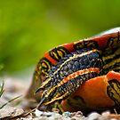 Western Painted Turtle by Josh Dayton