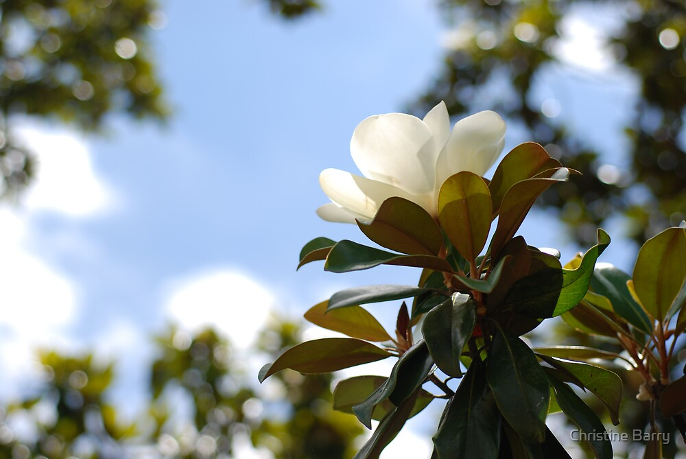 Southern Magnolia by Christine Barry