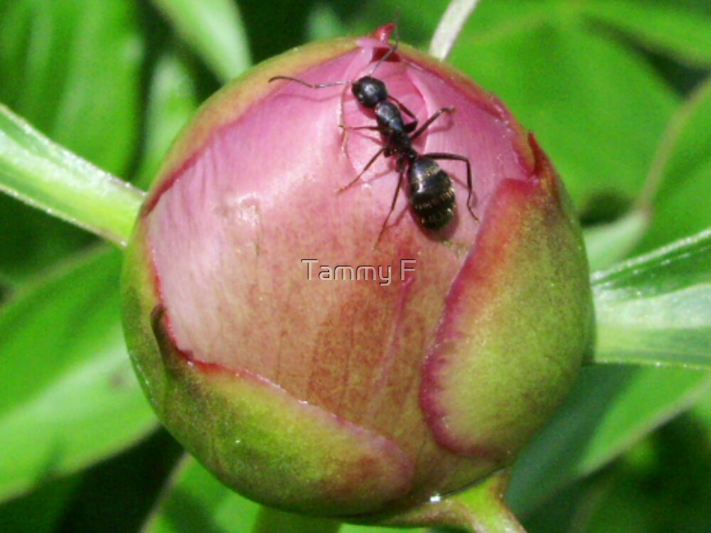 Ant on Petals by Tammy F