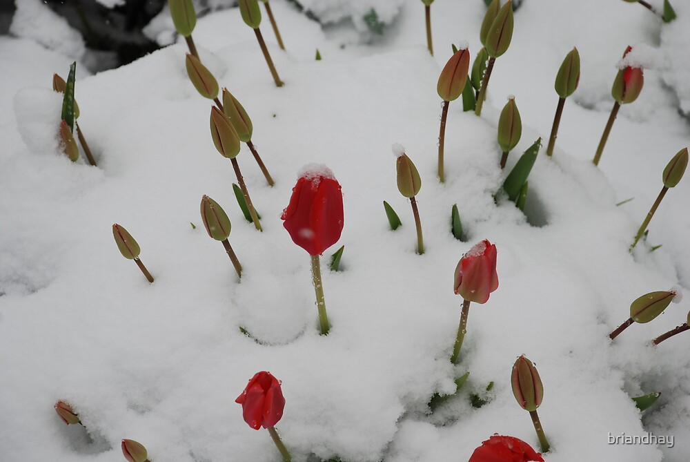 snow and tulips by briandhay