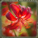 A Red Lily by Marilyn Cornwell