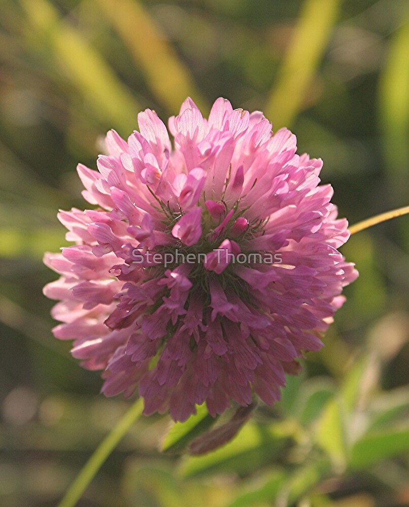 Red Clover Macro by Stephen Thomas