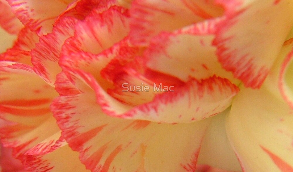 colourful carnation by Susie Mac
