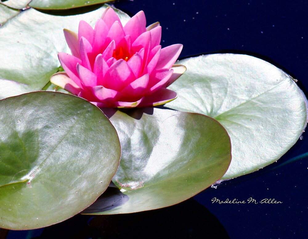 PINK LILY ON A SILVER PAD by Madeline M  Allen