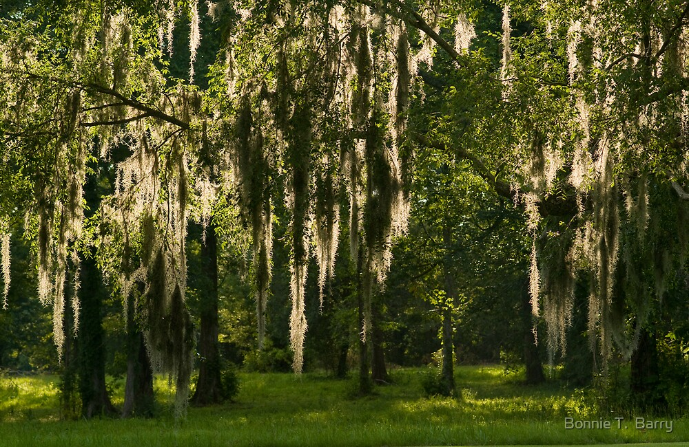 Sunlight Streaming through Spanish Moss by Bonnie T.  Barry