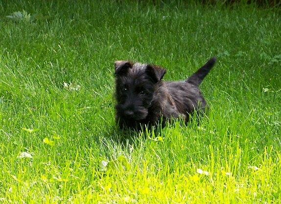Scottie Puppy by edissler