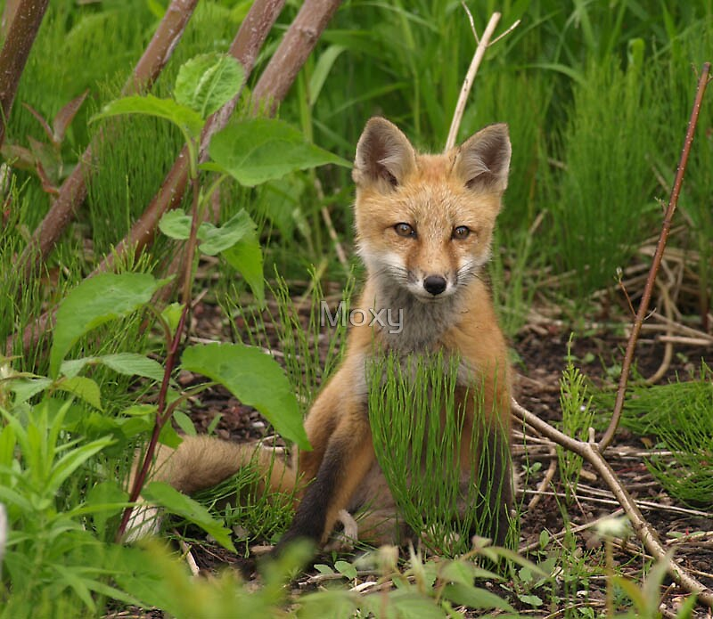 A Young Fox keeps Watch by Moxy