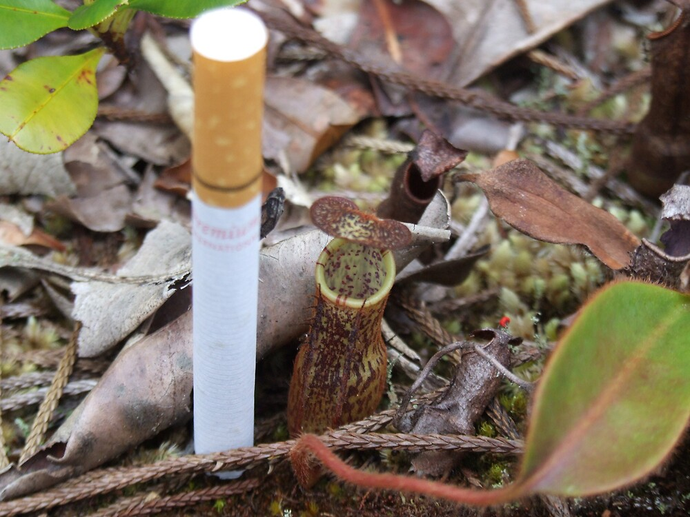 Baby pitcher plant - Maliau Basin - Sabah's Lost World by David Meyer