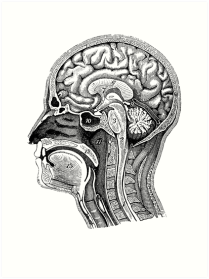 Anatomical Brain Drawing Art Prints By Zehda Redbubble