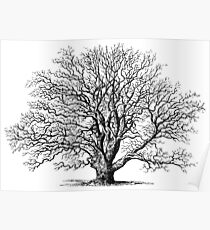 Oak Tree, Vintage Illustration Drawing #1 Poster