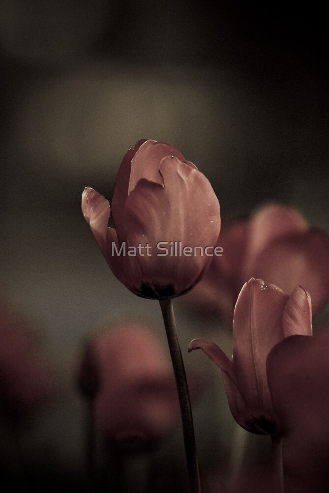 Lovely Tulips at night by Matt Sillence