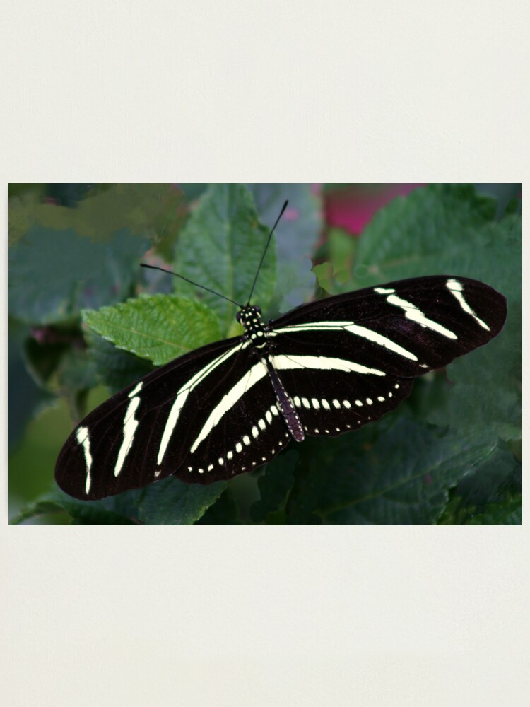 Alternate view of Zebra Longwing Photographic Print