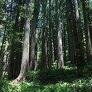 Dwarfed by the giant redwood forest by Hotaik  Sung