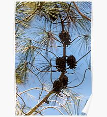 Cones on a coniferous tree against a blue sky Poster