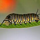 Monarch Butterfly Caterpillar by Anthony Goldman