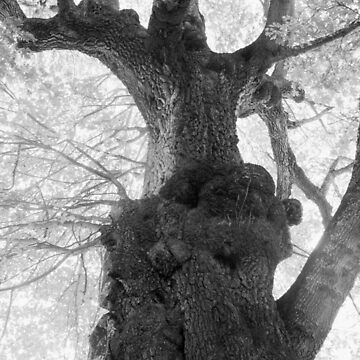 The Old Maple (English Camp, San Juan Island, Washington) by antoniozart