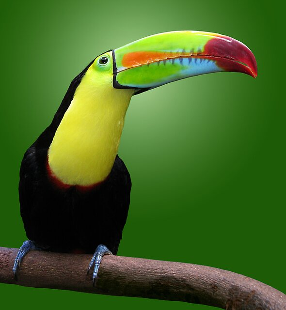 TOUCAN - HONDURAS by Michael Sheridan