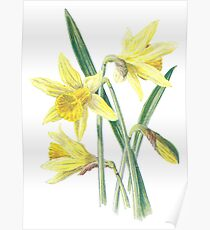 Daffodil Plant Art Painting Poster