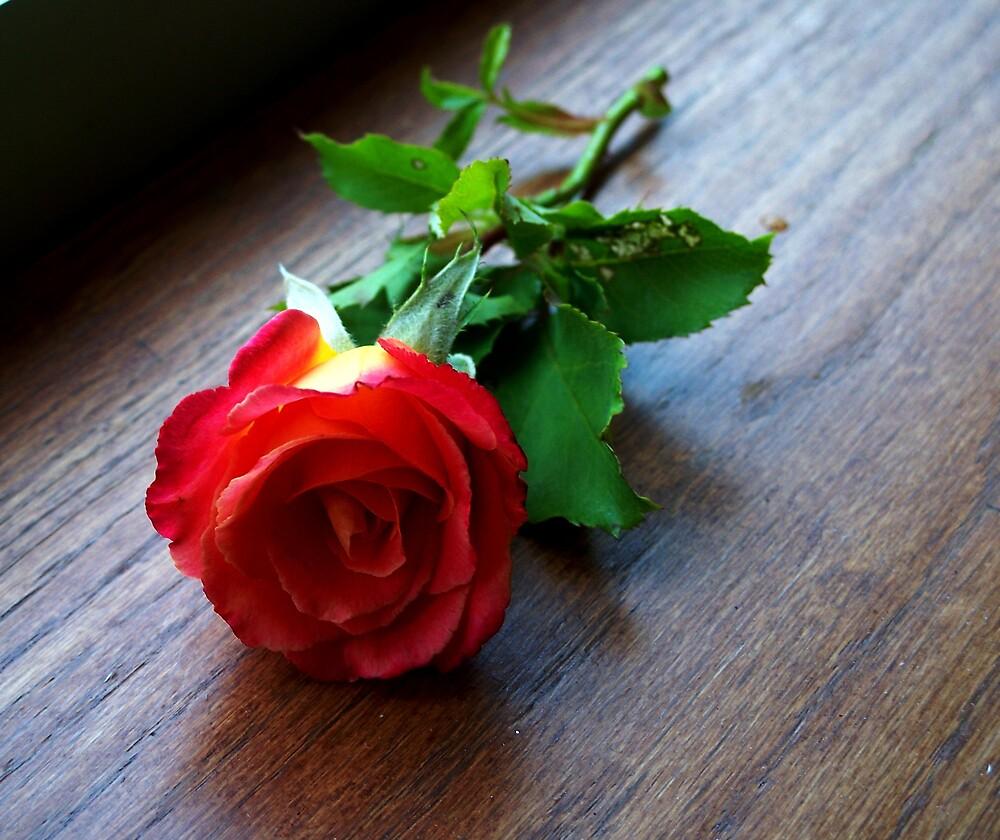 A single rose by Judi Taylor